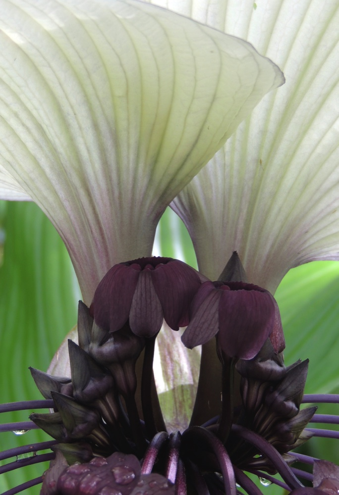 Bat Flower Canopy
